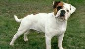 Olde English Bulldogge Information, Bilder, Preis