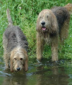 Otterhound Information, Bilder, Preis