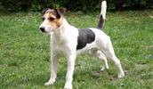 Parson Russell Terrier Information, Bilder, Preis