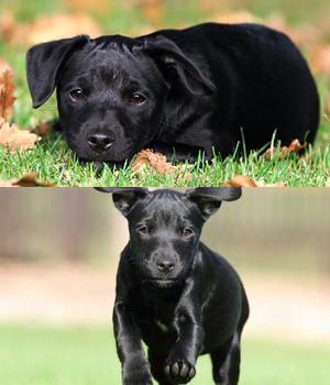 Patterdale Terrier Information, Bilder, Preis