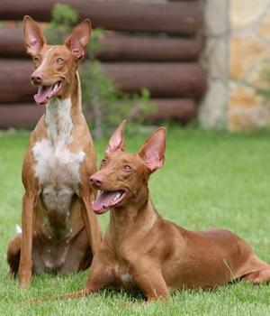 Pharaonenhund Information, Bilder, Preis