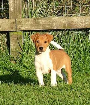 Plummer Terrier Information, Bilder, Preis