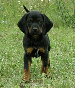 Polish Hunting Dog Information, Bilder, Preis