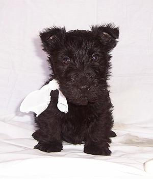 Scottish Terrier Information, Bilder, Preis