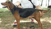 Serbischer Laufhund Information, Bilder, Preis