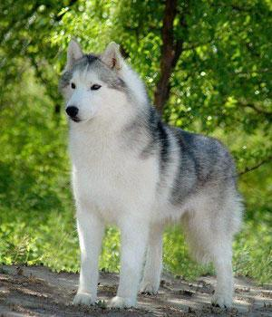 Siberian Husky Information, Bilder, Preis