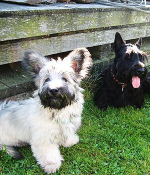 Skye Terrier Information, Bilder, Preis