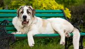 Spanish Mastiff Information, Bilder, Preis