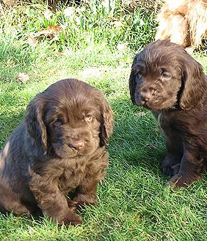 Sussex Spaniel Information, Bilder, Preis