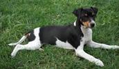 Terrier Brasileiro Information, Bilder, Preis