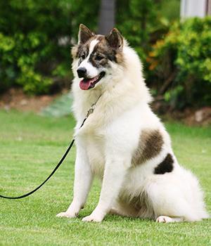 Thai Bangkaew Dog Information, Bilder, Preis
