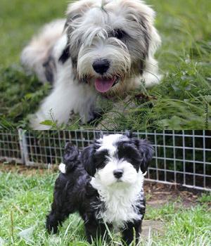 Tibetan Terrier Information, Bilder, Preis