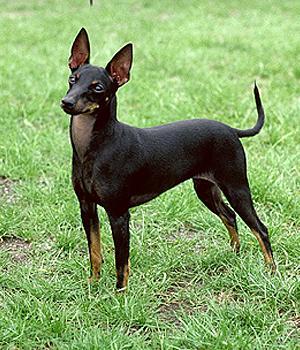 Toy Manchester Terrier Information, Bilder, Preis