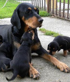 Transylvanian Dog Information, Bilder, Preis