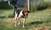 Treeing Walker Coonhound Information, Bilder, Preis