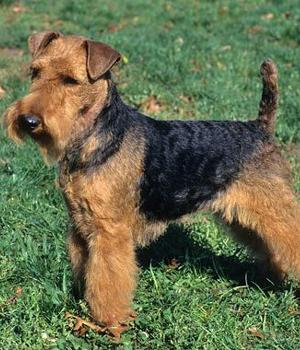 Welsh Terrier Information, Bilder, Preis