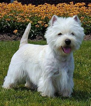 West Highland White Terrier Information, Bilder, Preis