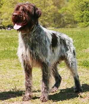 Wirehaired Pointing Griffon Information, Bilder, Preis