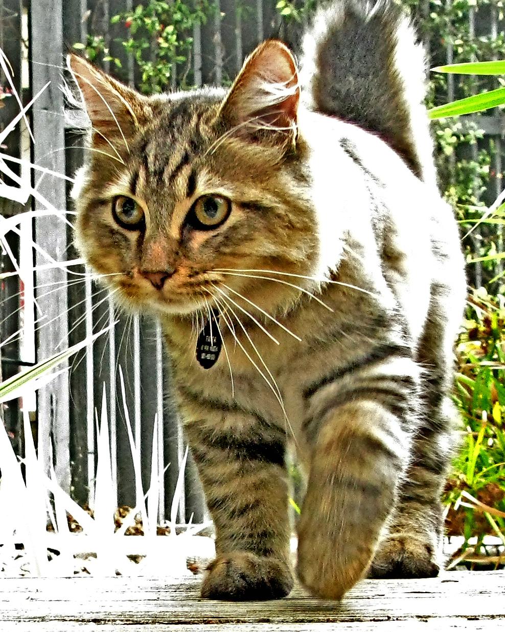 American Bobtail Longhair Information, Bilder, Preis