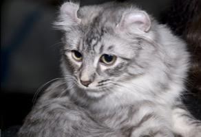 American Curl Longhair Information, Bilder, Preis