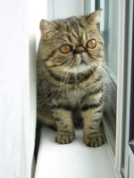 Exotic Shorthair Information, Bilder, Preis