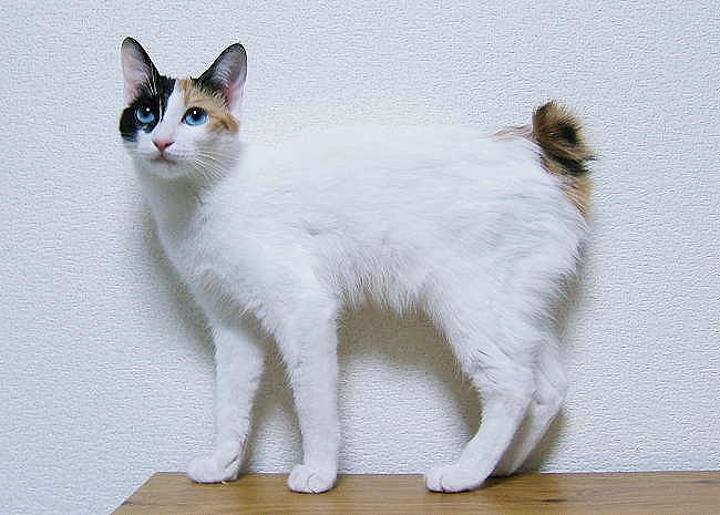 Japanese Bobtail Longhair Information, Bilder, Preis