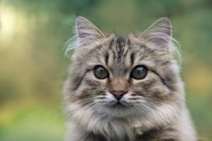 Norwegische Waldkatze Information, Bilder, Preis