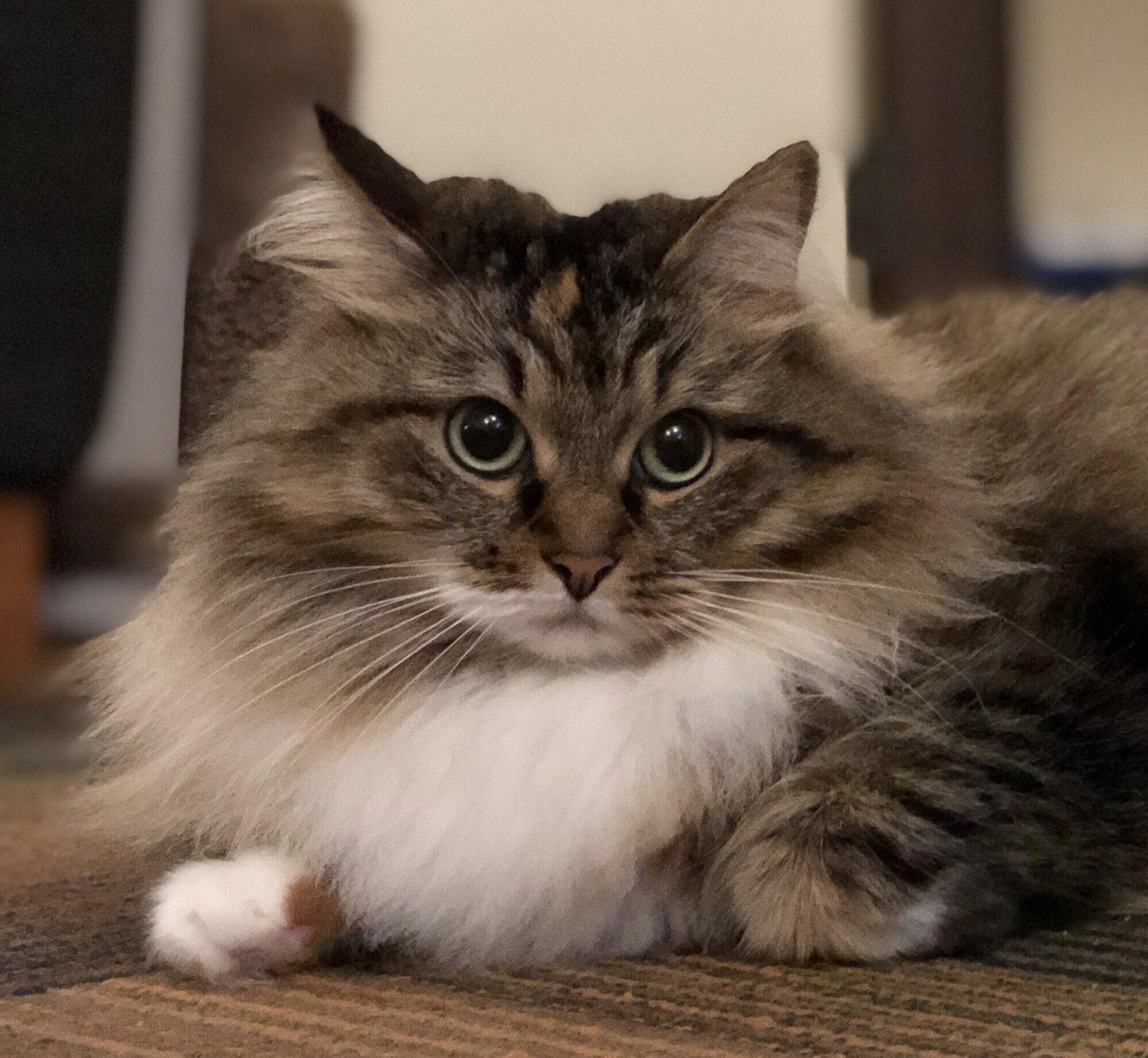 Sibirische Katze Information, Bilder, Preis