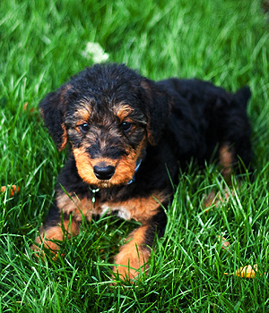 Airedale Terrier Information, Bilder, Preis