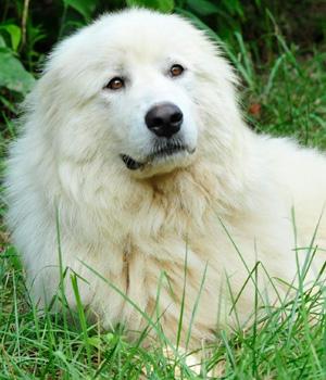 Akbash Dog Information, Bilder, Preis