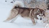 Alaskan Husky Information, Bilder, Preis