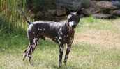 American Hairless Terrier Information, Bilder, Preis