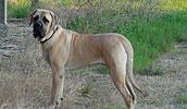 American Mastiff Information, Bilder, Preis
