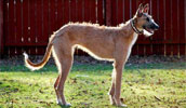 American Staghound Information, Bilder, Preis