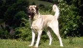 Anatolischer Hirtenhund Information, Bilder, Preis