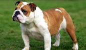 Australian Bulldog Information, Bilder, Preis