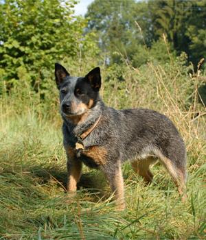 Australian Cattle Dog Information, Bilder, Preis