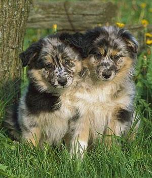 Australian Shepherd Information, Bilder, Preis