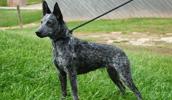 Australian Stumpy Tail Cattle Dog Information, Bilder, Preis