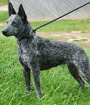 Australian Stumpy Tail Cattle Dog Information, Bilder, Preis