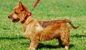 Australian Terrier Information, Bilder, Preis