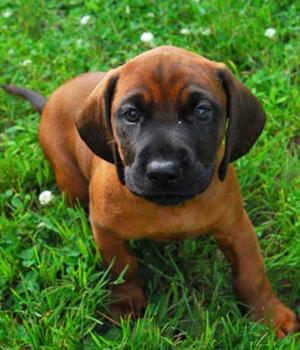 Bayerischer Gebirgsschweißhund Information, Bilder, Preis