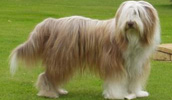 Bearded Collie Information, Bilder, Preis