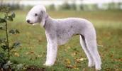 Bedlington Terrier Information, Bilder, Preis