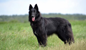 Belgian Shepherd Dog (Groenendael) Information, Bilder, Preis