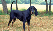 Black and Tan Coonhound Information, Bilder, Preis
