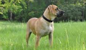 Blackmouth Cur Information, Bilder, Preis