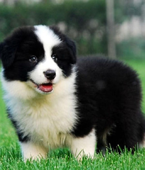 Border Collie Information, Bilder, Preis