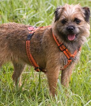 Border Terrier Information, Bilder, Preis