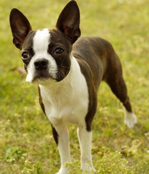 Boston Terrier Information, Bilder, Preis